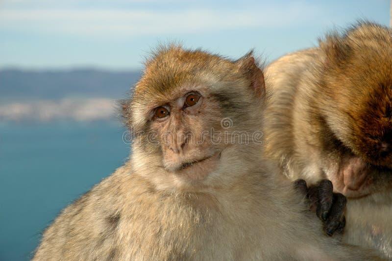 Singes de Macaque se toilettant sur le rocher de Gibraltar images libres de droits