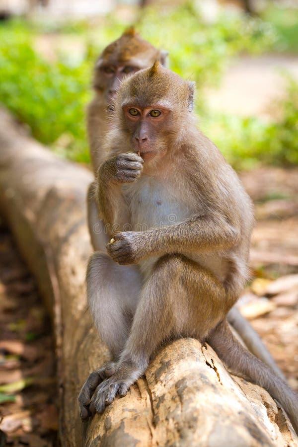 Singes de Macaque sur le branchement