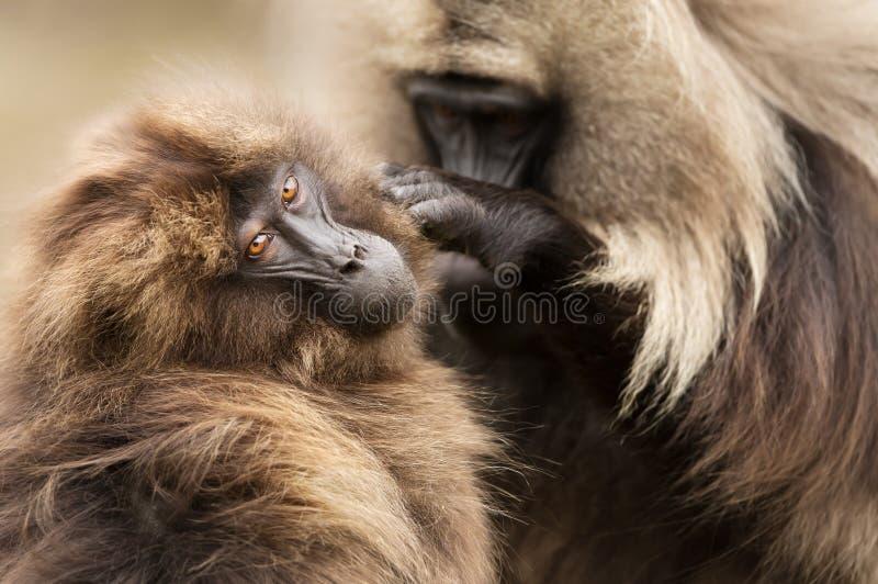 Singes de toilettage Gelada, montagnes de Simien, Ethiopie photographie stock libre de droits