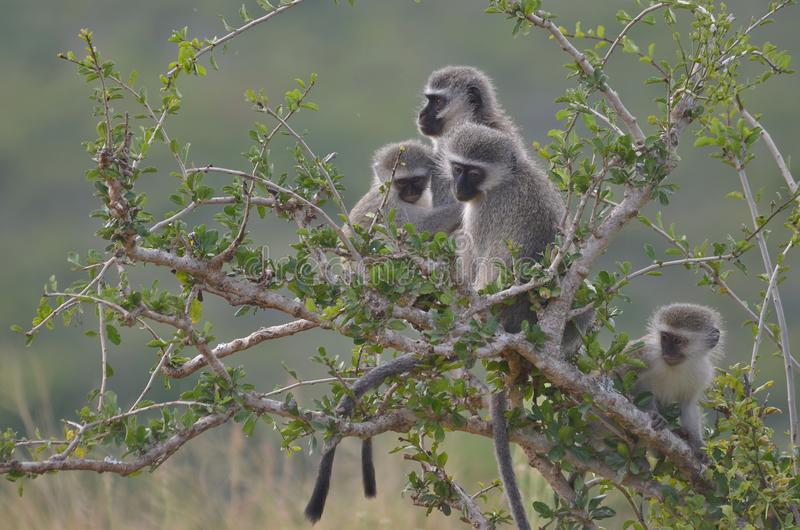 Singes de Vervet chez Addo Elephant National Park image stock