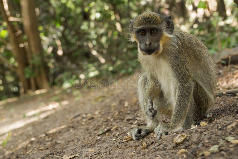 Singes de Vervet verts dans Bigilo Forest Park, Gambie photographie stock libre de droits