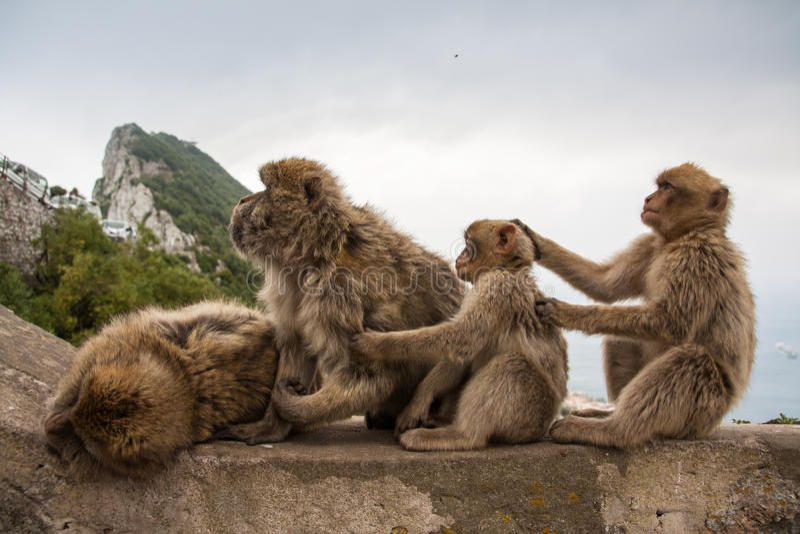 Singes du Gibraltar photo libre de droits