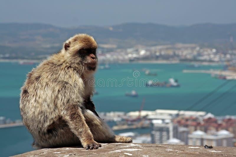 Singes du Gibraltar images libres de droits