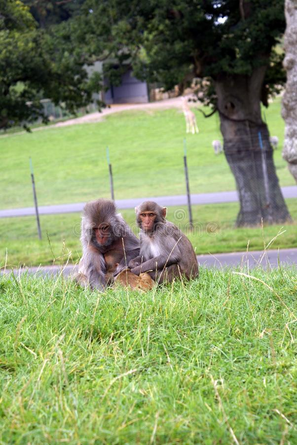 Singes en parc de safari en Angleterre images stock