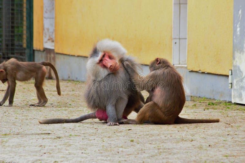 Singes ensemble dans le zoo en Allemagne à Augsbourg image libre de droits