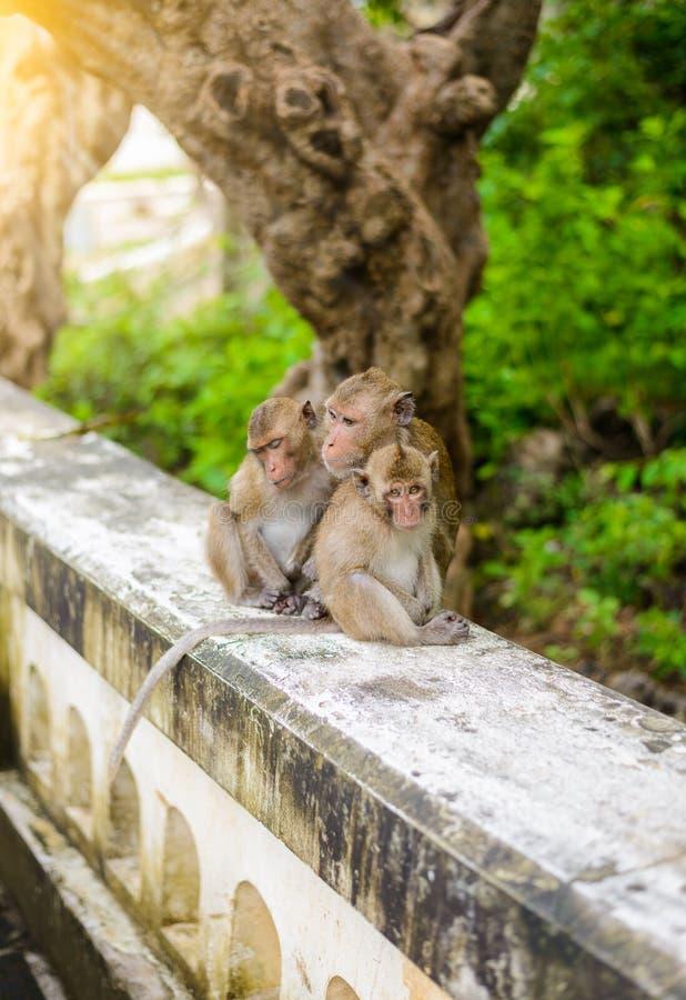 Singes et x28 ; crabe mangeant le macaque& x29 ; toilettage d'un un autre photographie stock libre de droits