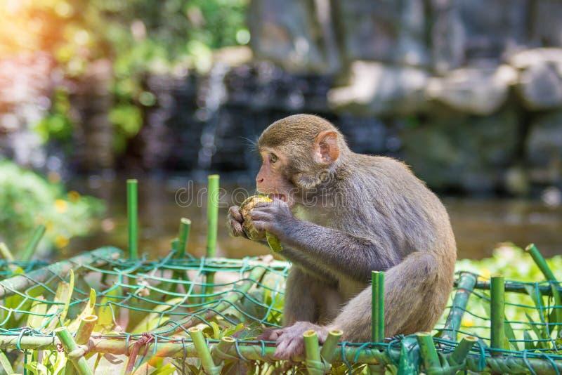 Singes fonctionnant autour dans la jungle, mangeant les petits et grands jeux et se dorent au soleil photos libres de droits