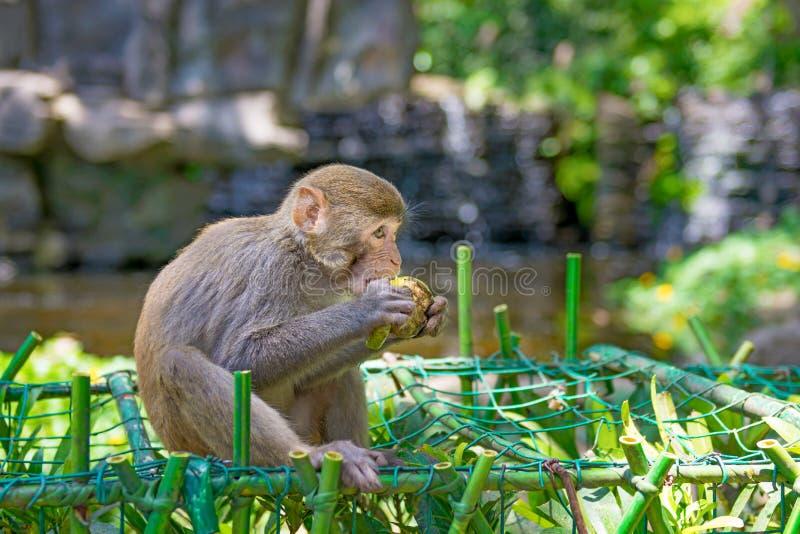 Singes fonctionnant autour dans la jungle, mangeant les petits et grands jeux et se dorent au soleil photographie stock libre de droits