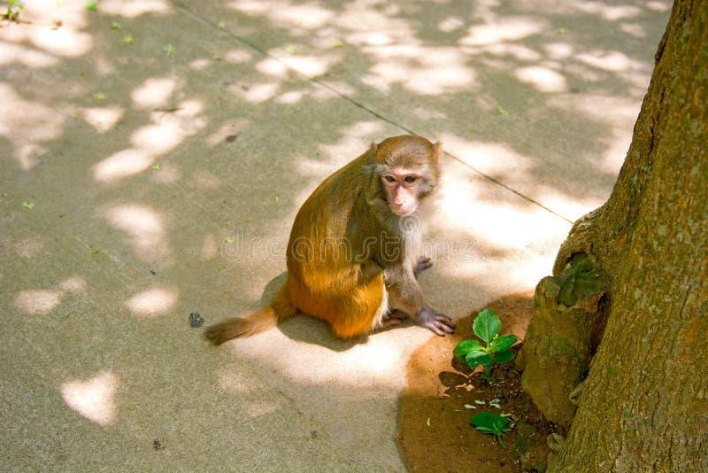 Singes fonctionnant autour dans la jungle, mangeant les petits et grands jeux et se dorent au soleil photo stock