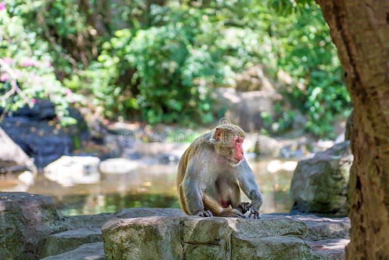 Singes fonctionnant autour dans la jungle, mangeant les petits et grands jeux et se dorent au soleil images stock
