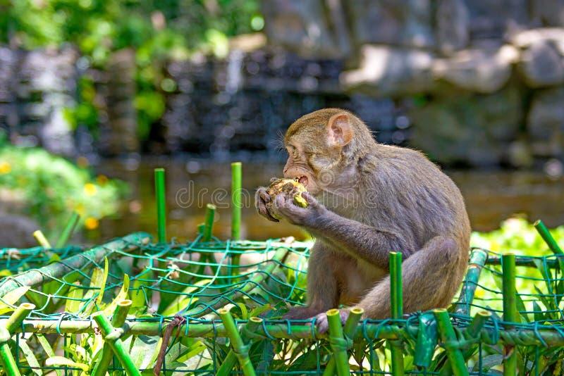 Singes fonctionnant autour dans la jungle, mangeant les petits et grands jeux et se dorent au soleil photographie stock