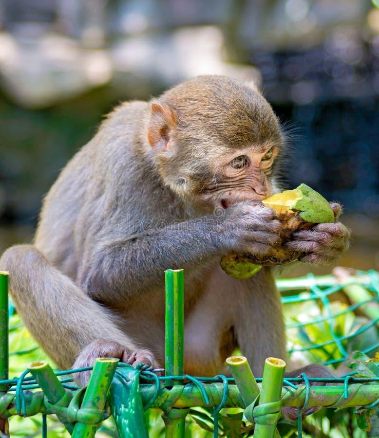Singes fonctionnant autour dans la jungle, mangeant les petits et grands jeux et se dorent au soleil image stock