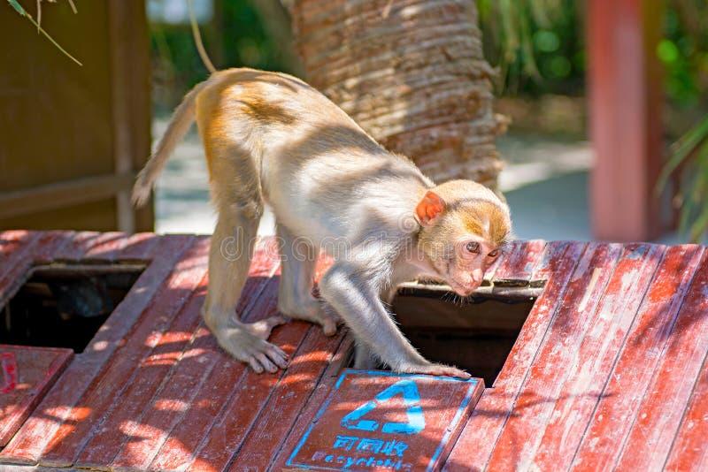 Singes fonctionnant autour dans la jungle, mangeant les petits et grands jeux et se dorent au soleil images libres de droits