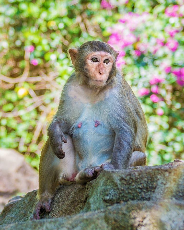 Singes fonctionnant autour dans la jungle, mangeant les petits et grands jeux et se dorent au soleil image libre de droits