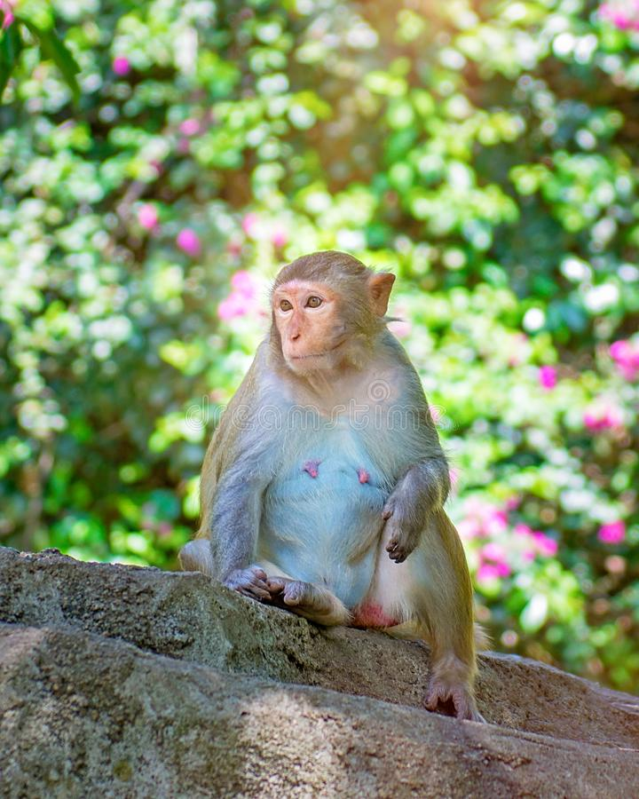 Singes fonctionnant autour dans la jungle, mangeant les petits et grands jeux et se dorent au soleil photos stock