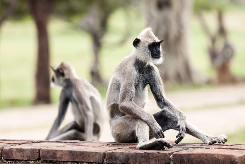 Singes gris tuftés de langur dans Anuradhapura photographie stock libre de droits