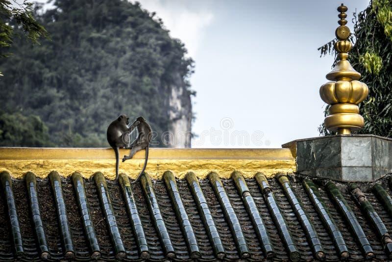 Singes se toilettant sur le temple bouddhiste photo libre de droits