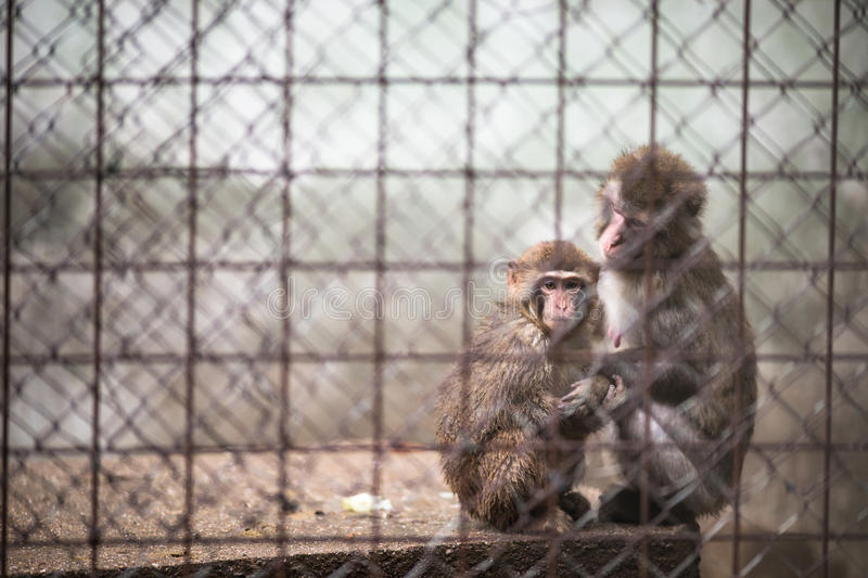 Singes tristes photos libres de droits