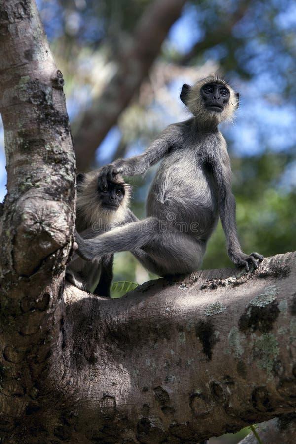 Singes tuftés de Gray Langur dans Sri Lanka photographie stock