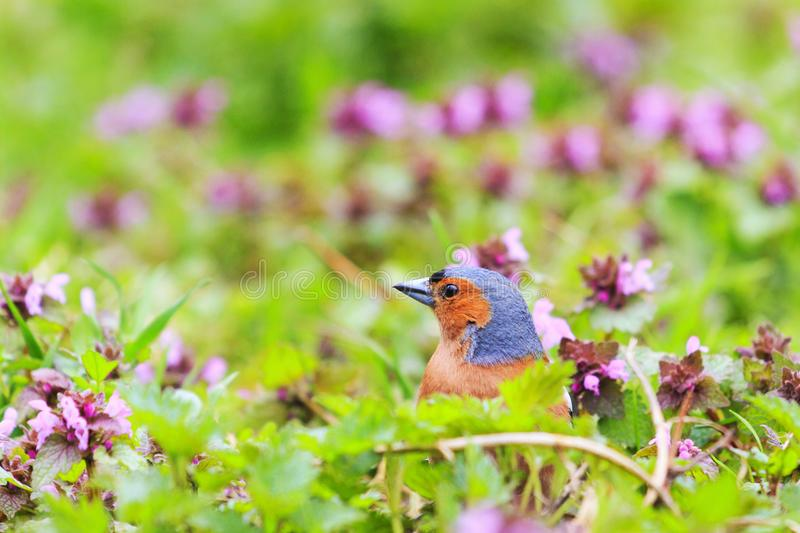 Singing bird sits in the spring forest flowers stock photo