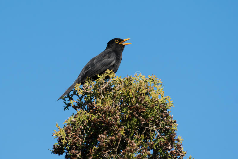 Singing blackbird in top of a tree. Singing common blackbird in top af a thuja tree with blue sky in the background royalty free stock image