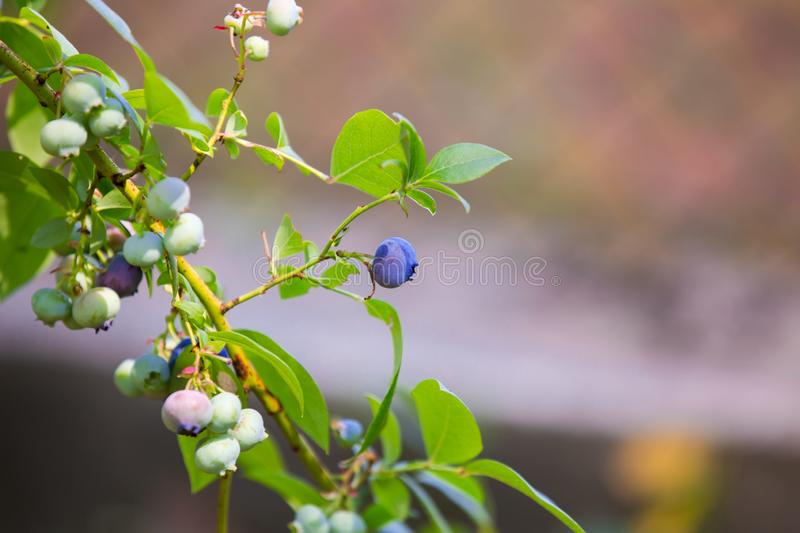 Singing blue berries blueberries on a bush. Selective focus.  stock photography