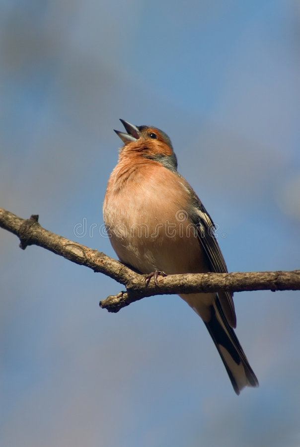 Free Singing Chaffinch Bird Stock Image - 2106911
