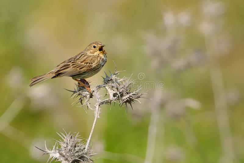 Corn Bunting - Emberiza calandra. Singing Corn Bunting - Emberiza calandra on the branch royalty free stock images