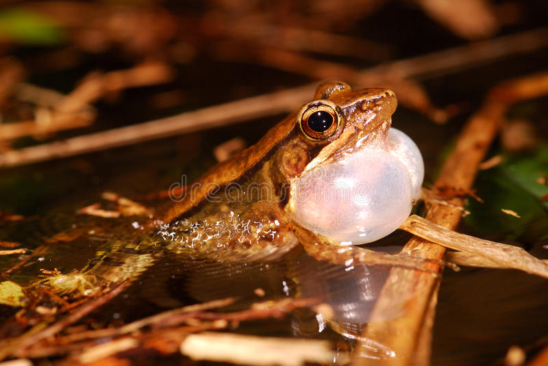 Singing Frog in Pond. A Rana adenopleura singing in water, producing ripples stock photography