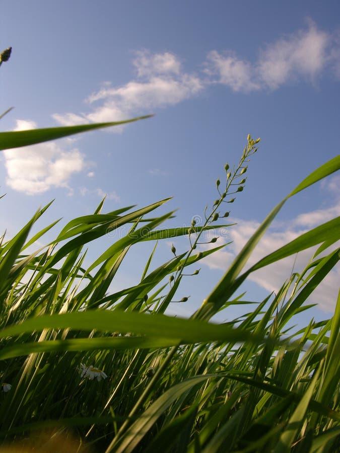 Singing Grass royalty free stock image