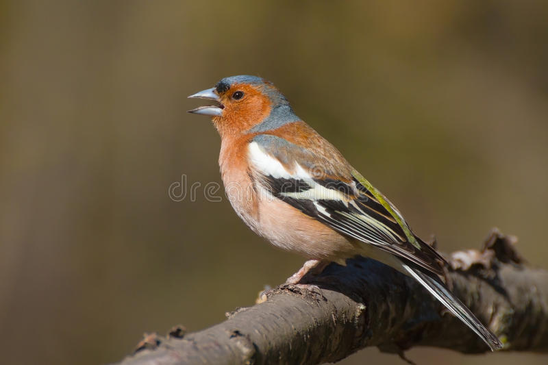 Singing male chaffinch stock photos