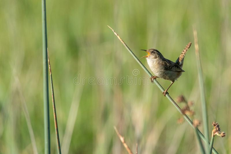 Singing marsh wren perched on reed. At Sacramento Wildlife Refuge announcing spring. Soft-focus reeds in the background. His speckled tail is held in a stock photo