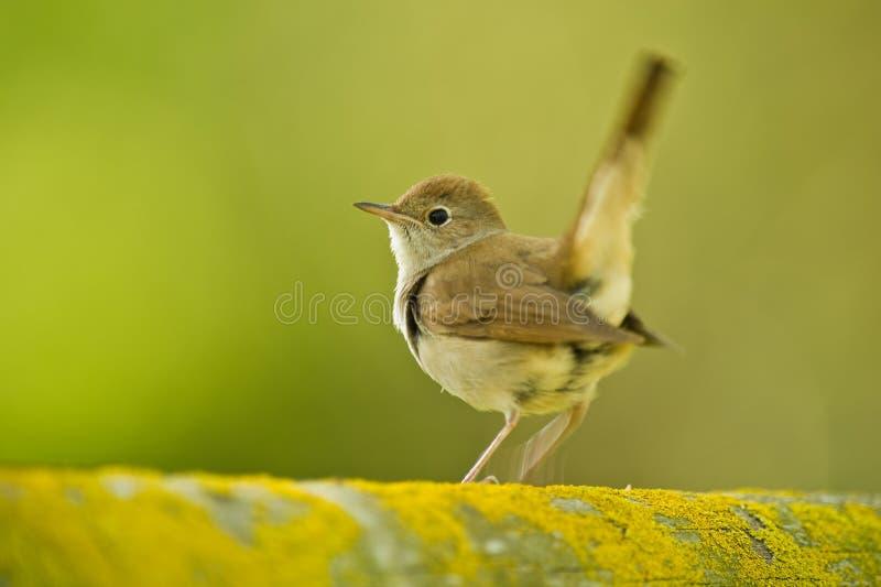 Singing Nightingale stock photography