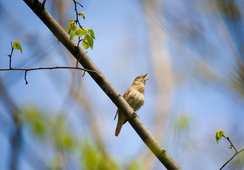 Download Singing nightingale stock image. Image of nature, tree - 8374925