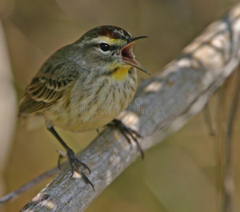 Download Singing palm warbler stock image. Image of wildlife, yell - 105527