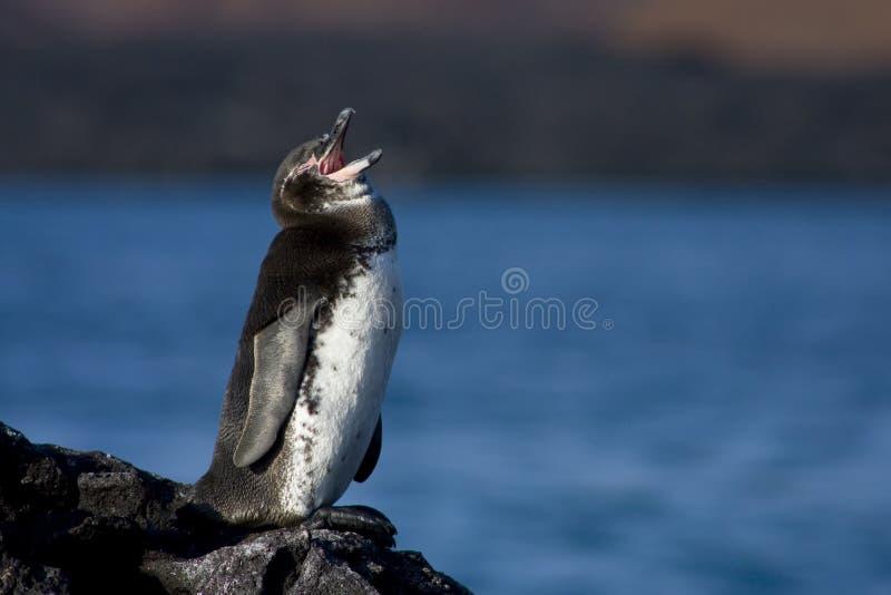 Singing Penguin royalty free stock image