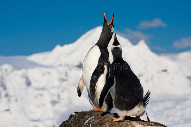 Singing penguins royalty free stock photo