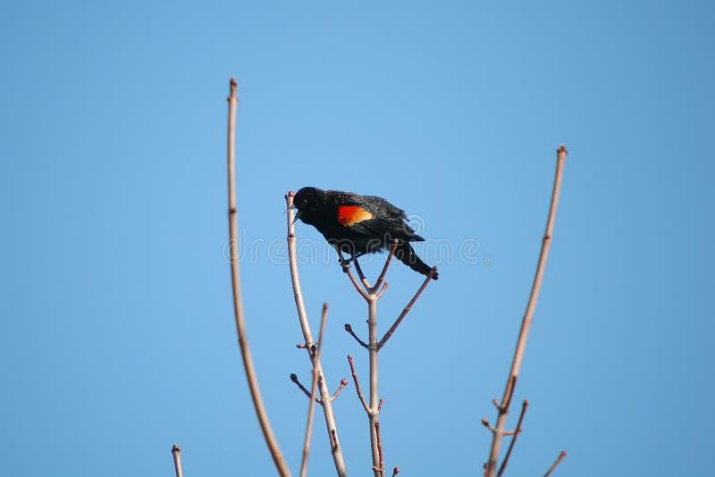 Singing red-winged Blackbird royalty free stock image