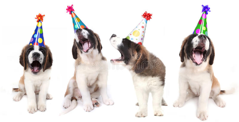 Singing Saint Bernard Dogs Celebrating stock photography