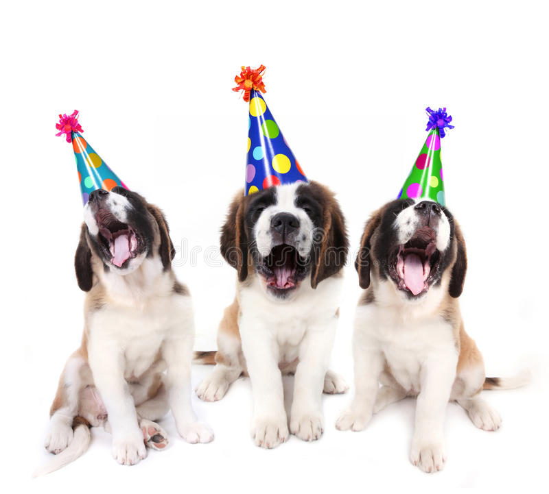 Free Singing Saint Bernard Puppies With Birthday Stock Images - 16737654