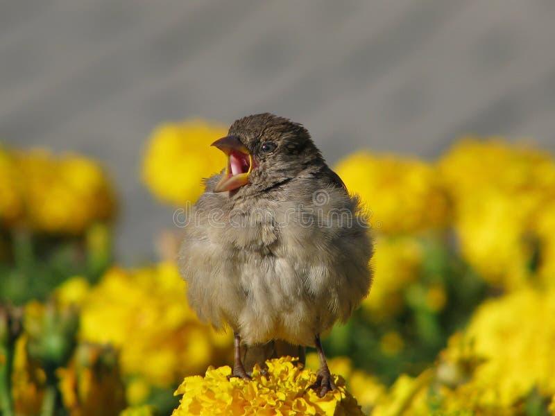 Download Singing sparrow stock image. Image of flower, garden - 17529681