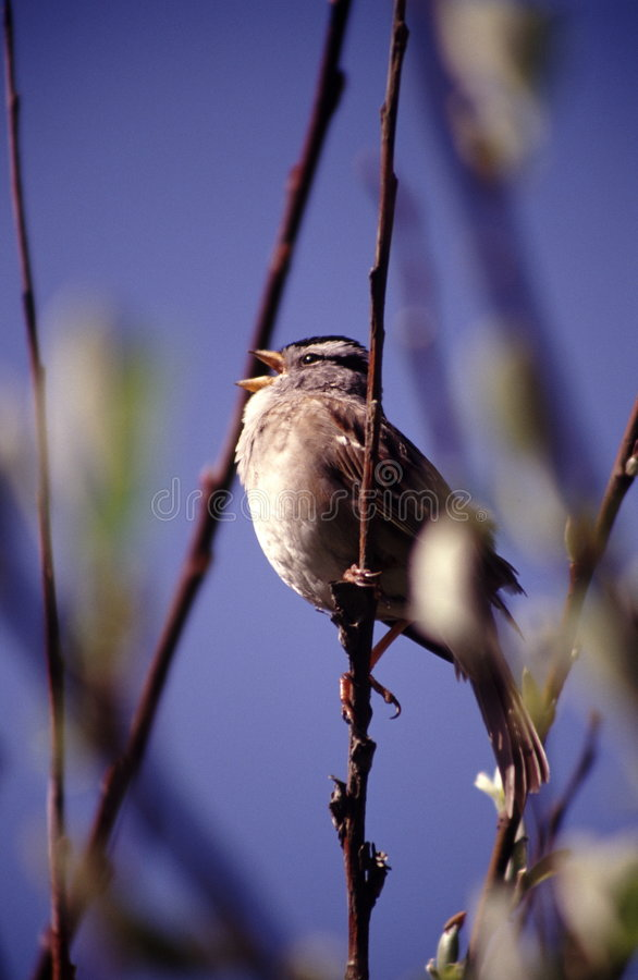 Singing Sparrow Stock Photo