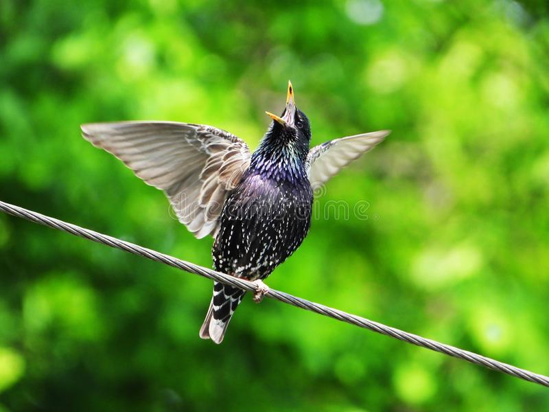 Singing starling in early spring stock photos