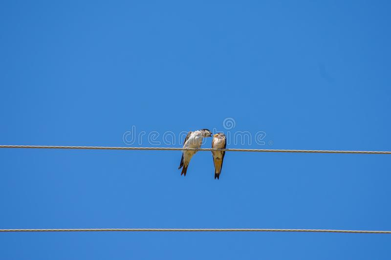 Singing two birds on wire, blue sky background royalty free stock photography