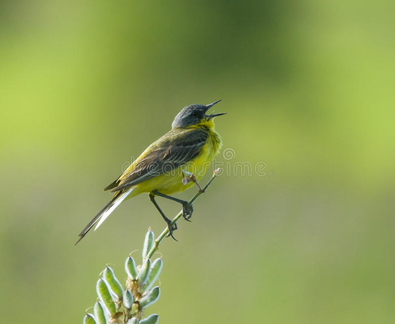 Download Singing Western Yellow Wagtail Stock Image - Image: 29625573