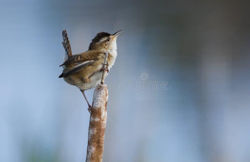Singing Wren Royalty Free Stock Photo