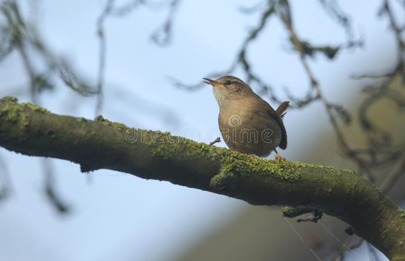 A singing Wren Troglodytes troglodytes perched on a branch in a tree. A cute singing Wren Troglodytes troglodytes perched on a branch in a tree royalty free stock image