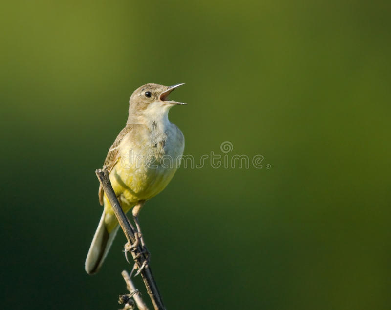 Download Singing Yellow Wagtail On Branch Stock Image - Image of singing, bloom: 29625639