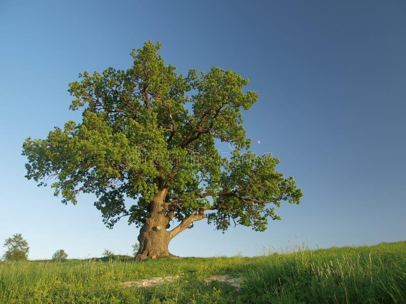 Singl oak tree. royalty free stock photography