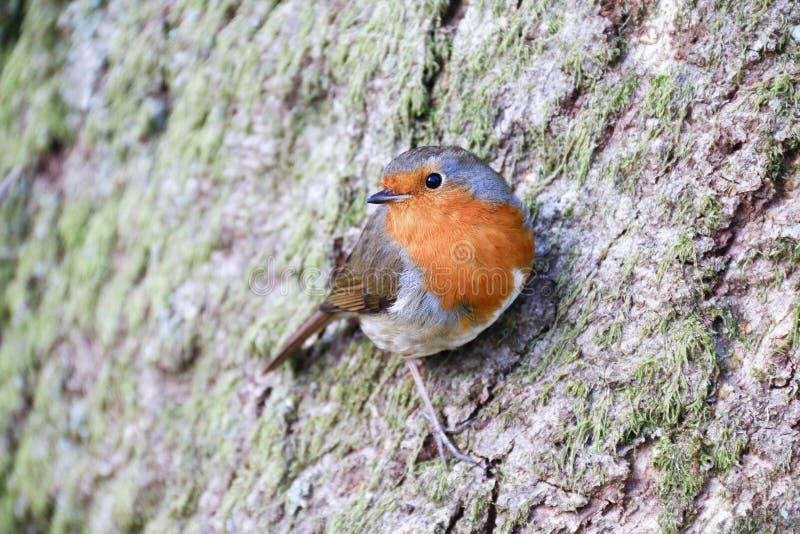 Single adult European Robin Erithacus Rubecula royalty free stock photography